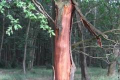 Blitzeinschlag in eine Eiche: Durch den Blitz wurde im Stammbereich großflächig die Baumrinde abgesprengt.