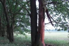 Blitzeinschlag in Eiche: Der Baum steht am Waldrand. Glücklicherweise gab es keinen Brand.