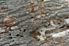 Großer Eichenbock: Fraßgänge im Eichenholz
